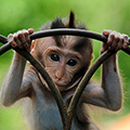 indonésie: Apes in Monkey Forest are not caged, its more like an safari experience - they are free to go wherever they want.