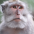 indonésie: Macaques have very liveful look, so comunicatice, so human-like.