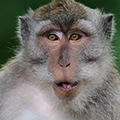 indonésie: Macaques were held in easily accessed areas by lots of food.