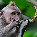 indonésie: Even while macaques are sovial animals, with piece of food they seek solitude in trees.