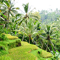 indonésie: Rice paddies are accompanied by high coconut trees.