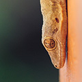 indonésie: These 4-inch, sandy smiling geckos are called *cica* by locals. Compared to big ones these are shy and do not bite.