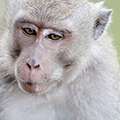 indonésie: These macaques looked bigger than those at Monkey Forest.
