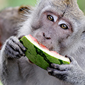 indonésie: Hungry apes steal everything eatable.