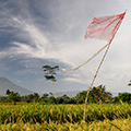indonésie: View on Mt. Agung across rice fields.