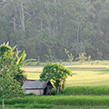 indonésie: Cottage in fields and jungle in behind.