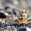 indonésie: There is a lot of small crabs at the beach.