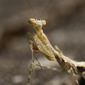 indonésie: Small mantis that posed for photografy in the garden.